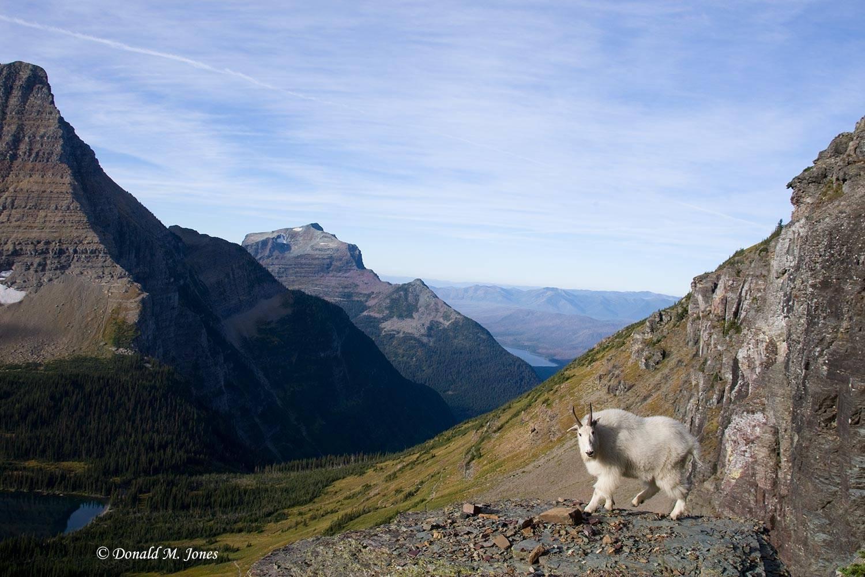 Mountain-Goat01946D