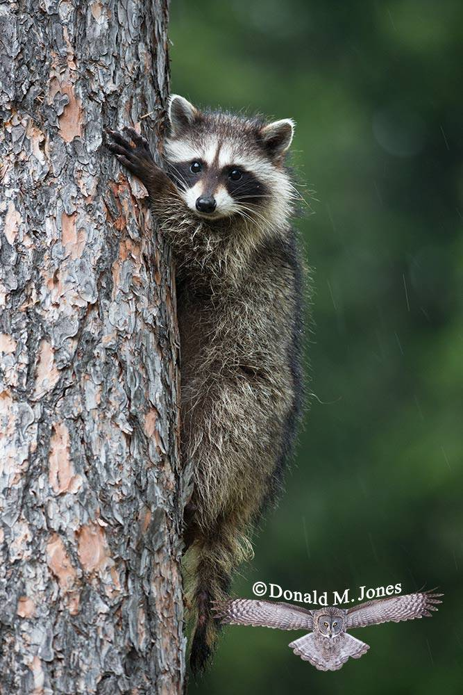 Raccoon0140D