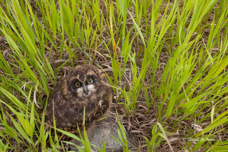 Short-eared-Owl0204D