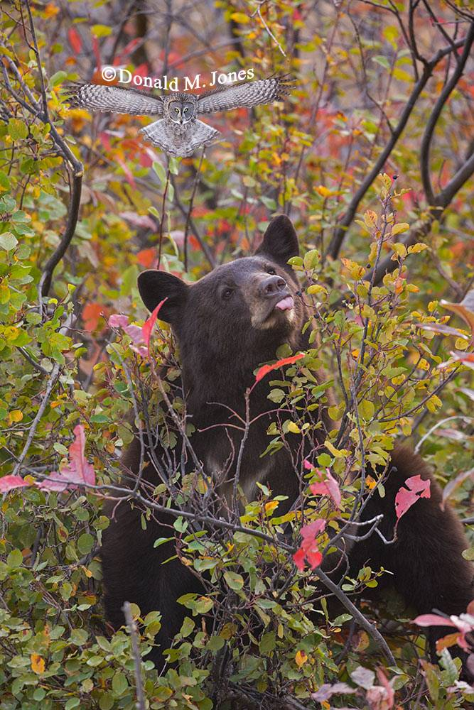 Black-Bear08184D