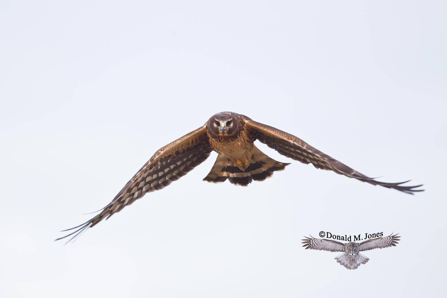 Northern-Harrier0178D