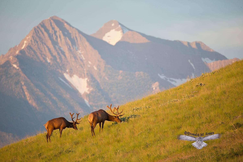 Elk-(Rocky-Mtn)21675D