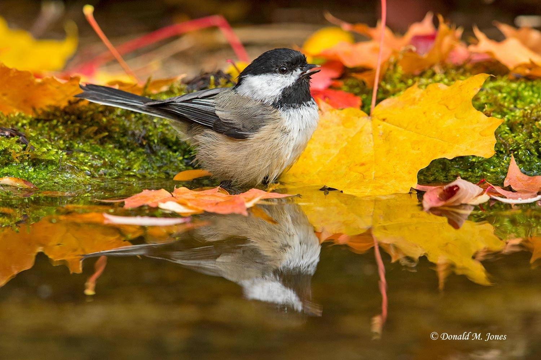 Black-capped-Chickadee0599D