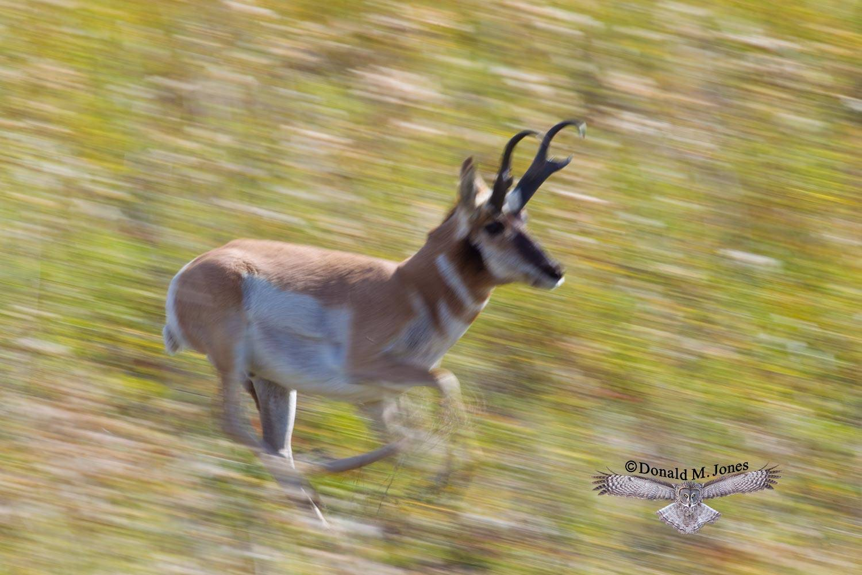 Pronghorn-Antelope03911D