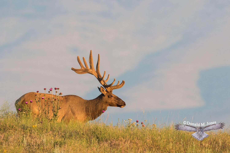 Elk-(Rocky-Mtn)25487D