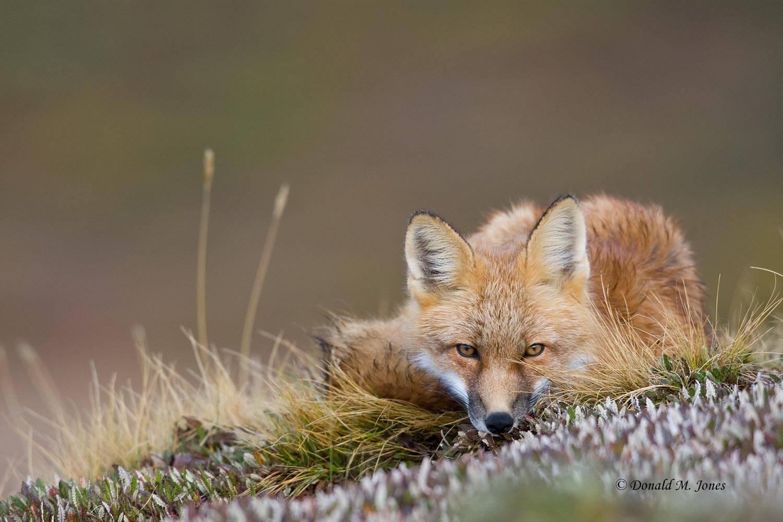 Red-Fox0739D