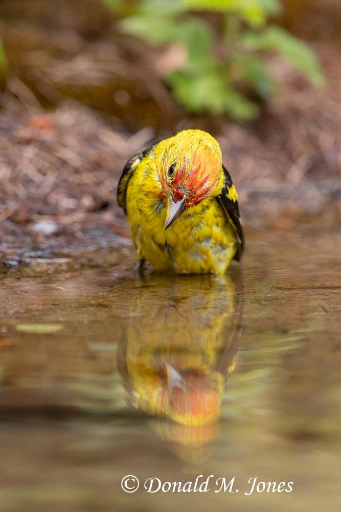 Western-Tanager0945D