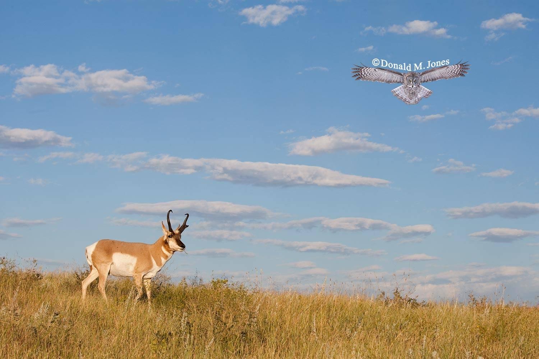 Pronghorn-Antelope03428D