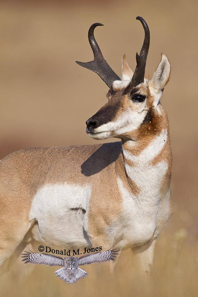 Pronghorn-Antelope03950D