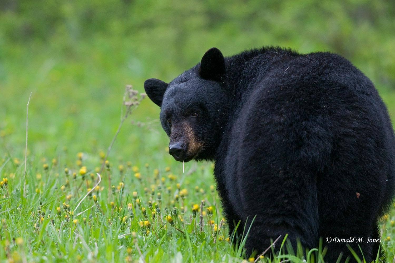 Black-Bear04103D