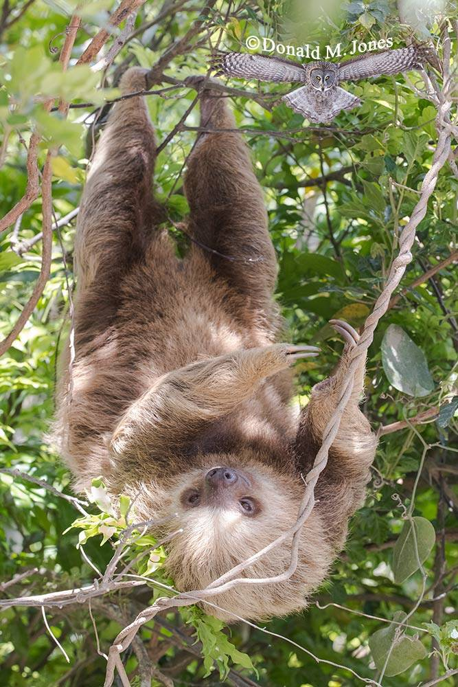 Hoffmann's-Two-toed-Sloth0113D