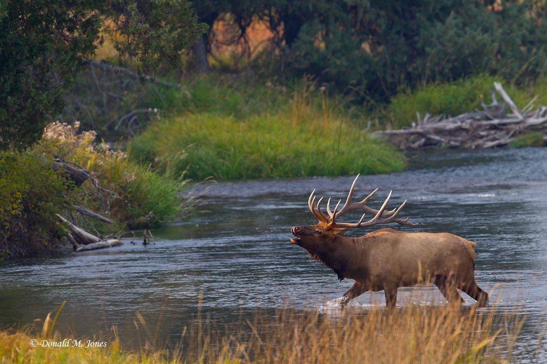 Elk-(Rocky-Mtn)21280D