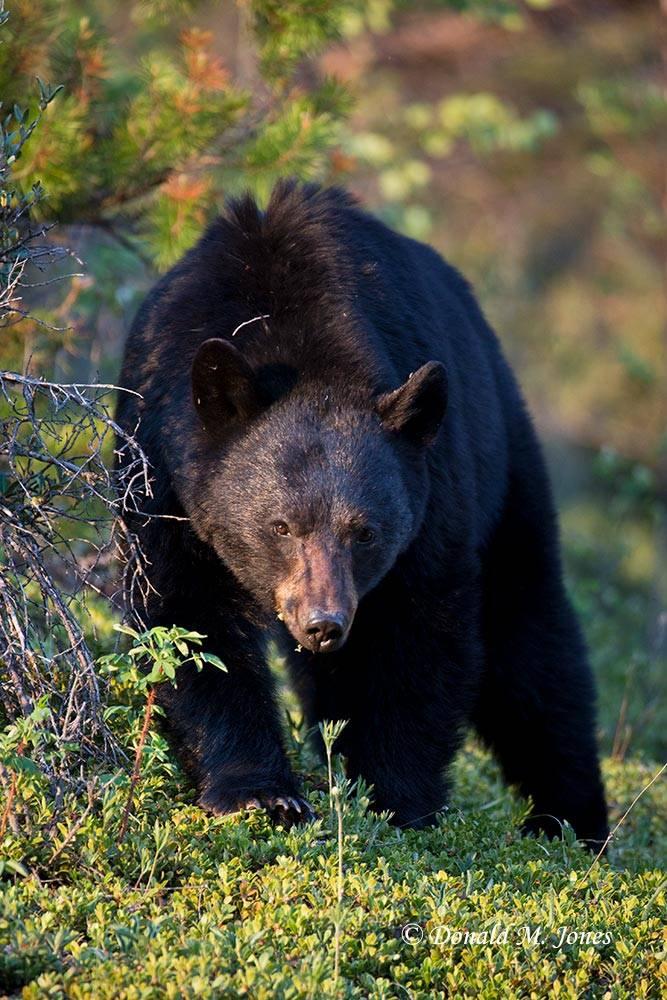 Black-Bear07072D