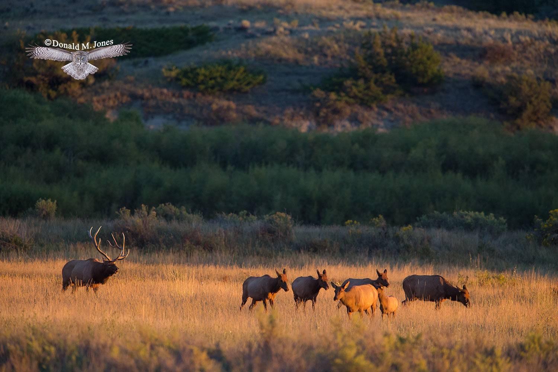 Elk-(Rocky-Mtn)23280D
