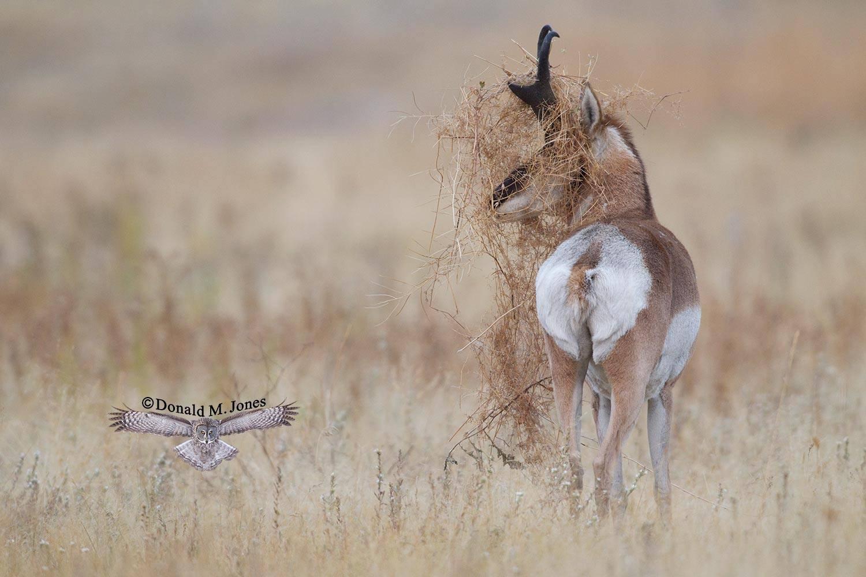 Pronghorn-Antelope03993D