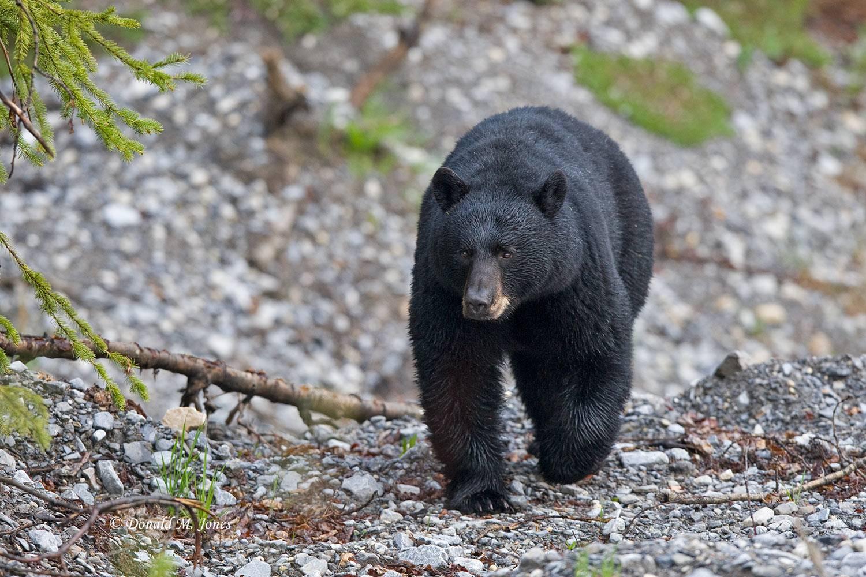 Black-Bear04761D