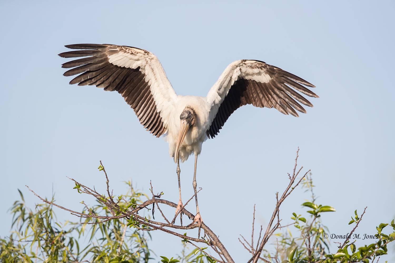 Wood-Stork0120D