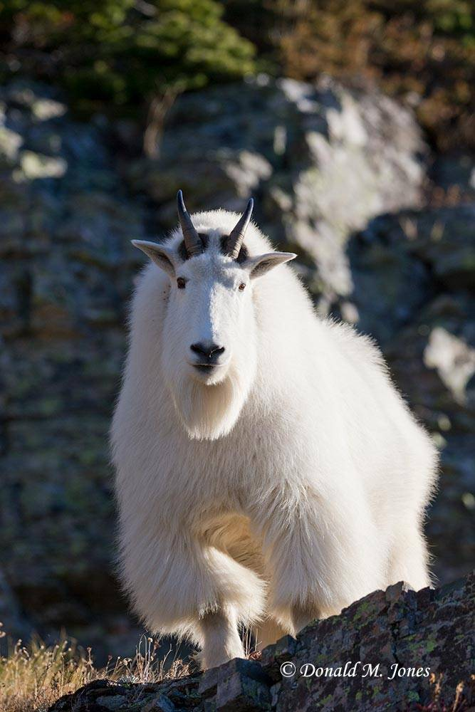 Mountain-Goat02833D