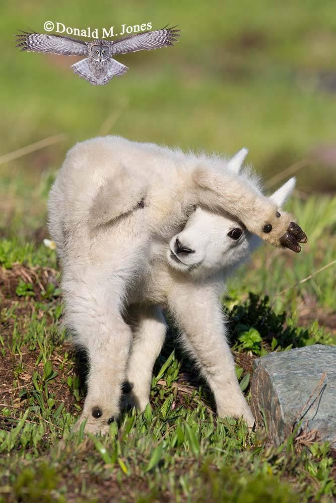 Mountain-Goat02487D