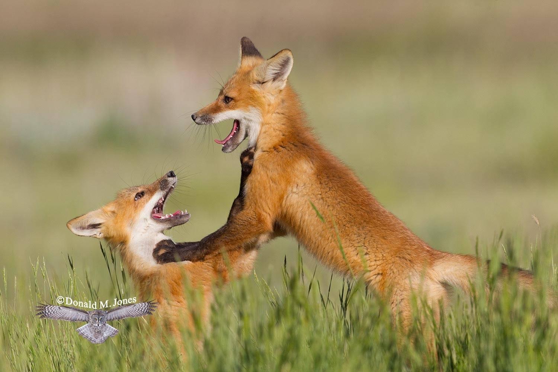 Red-Fox1032D