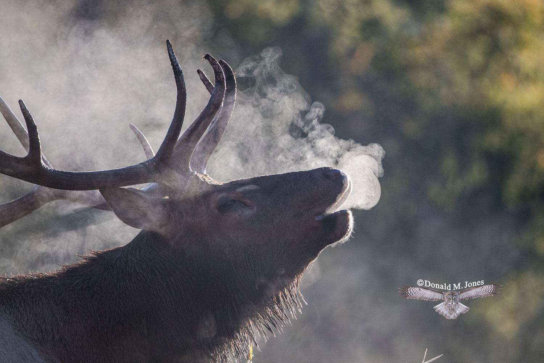 Elk-(Rocky-Mtn)24774D