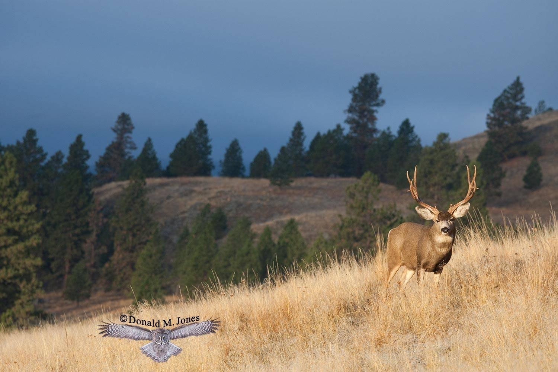 Mule-Deer07894D