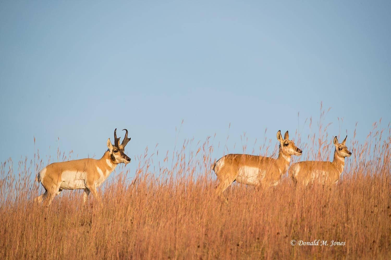 Pronghorn-Antelope05552D