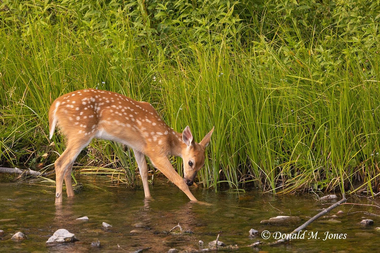 Whitetail-Deer63364D