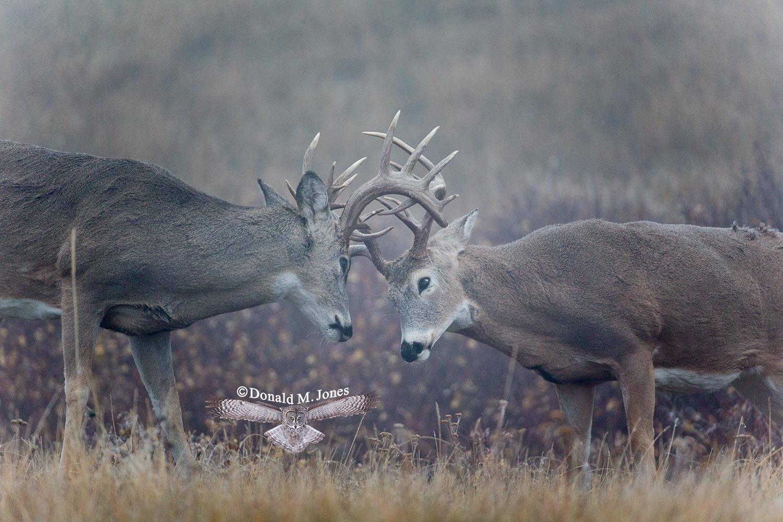 Whitetail-Deer46049D