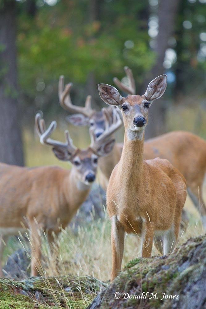 Whitetail-Deer48043D