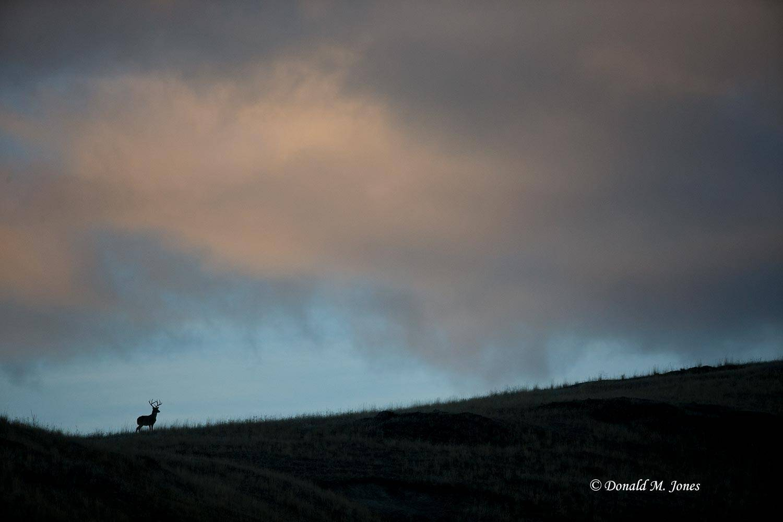 Whitetail-Deer49830D