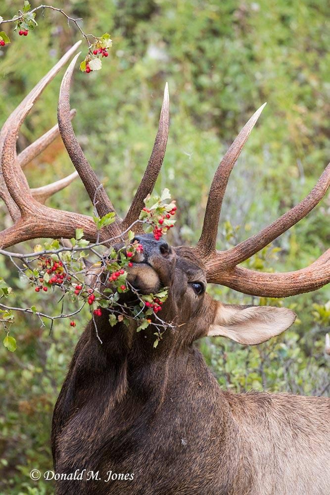 Elk-(Rocky-Mtn)23119D
