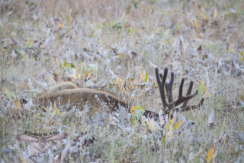 Mule-Deer11005D
