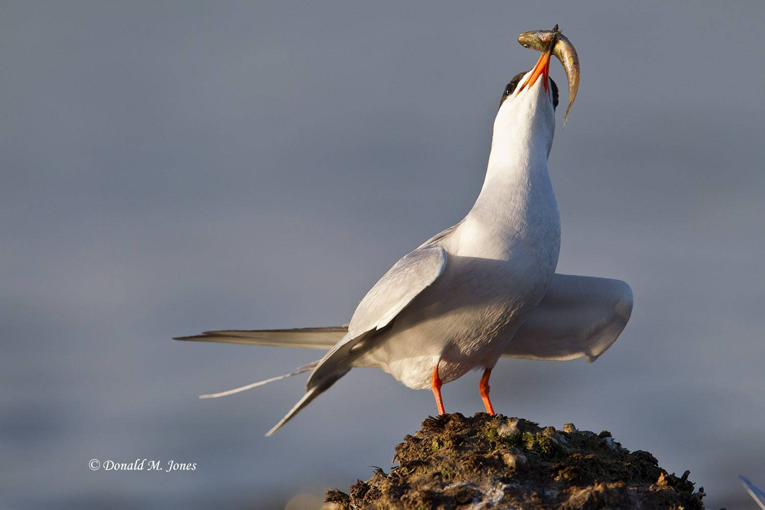 Forester's-Tern0033D