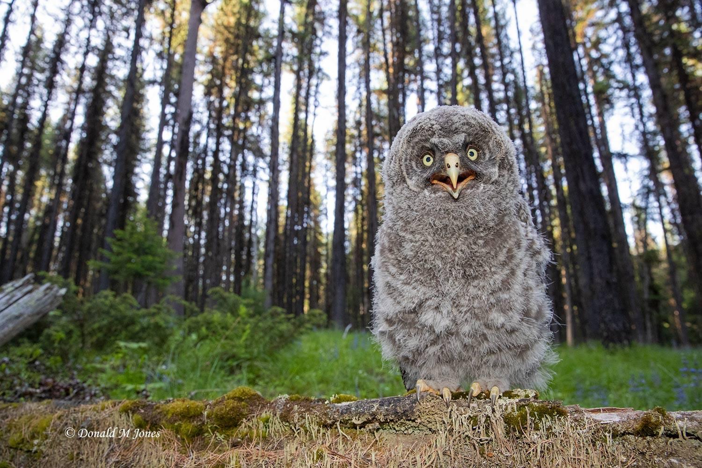 Great-Gray-Owl1428D