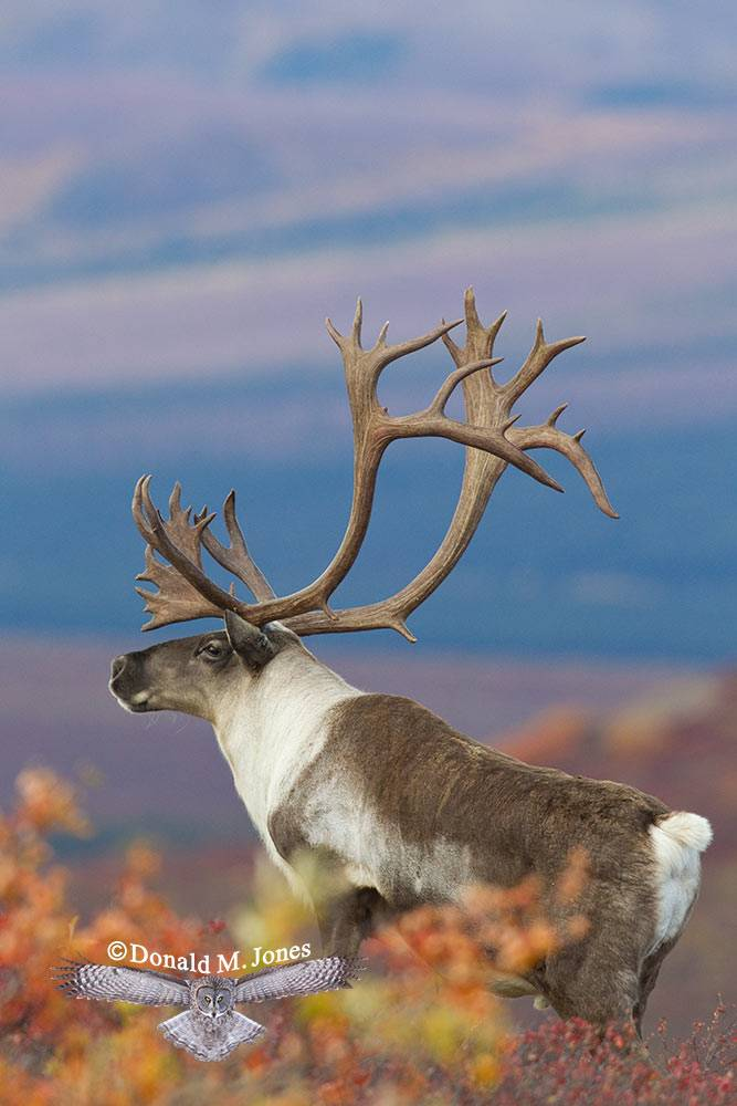 Barren-Ground-Caribou02290D