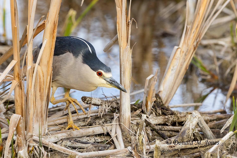 May 11 - Black-crowned Nightheron0125D        .jpg