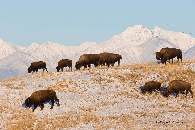 American-Bison01872D