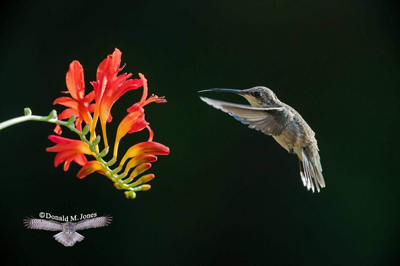 Black-chinned-Hummingbird0128D