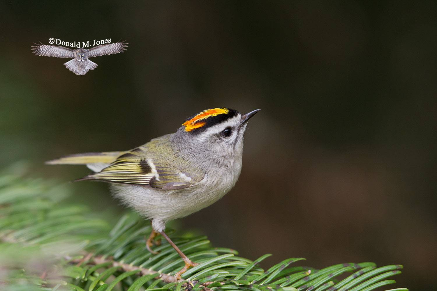 Golden-crowned-Kinglet0174D