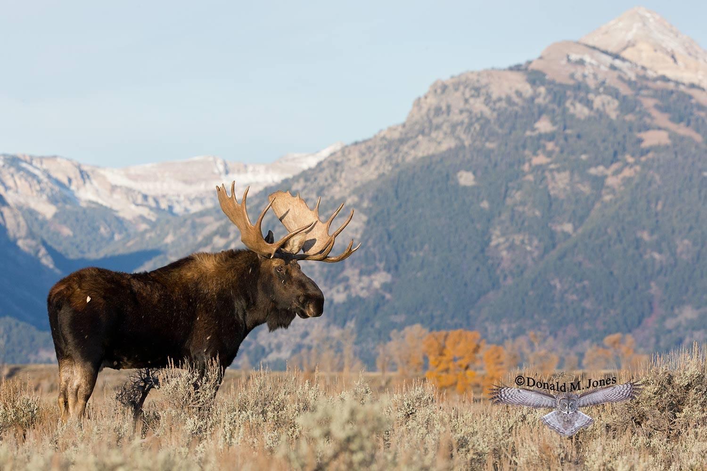 Moose05152D