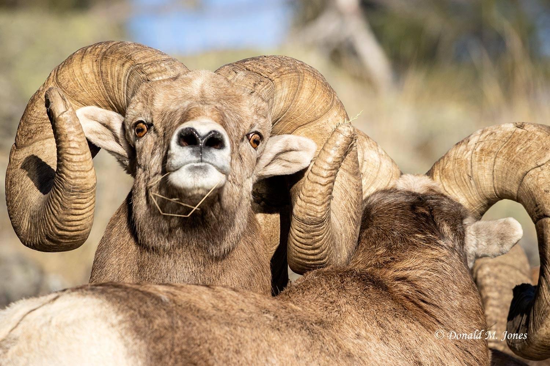 Bighorn-Sheep06526D