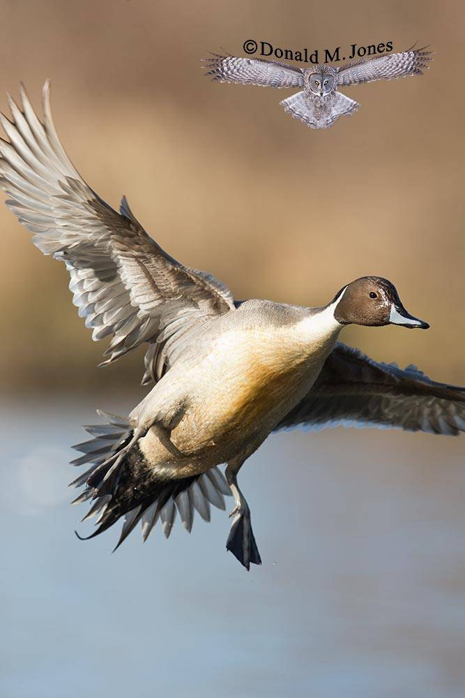 Northern-Pintail1997D