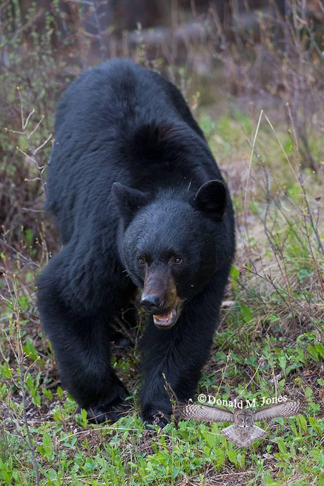 Black-bear06921D