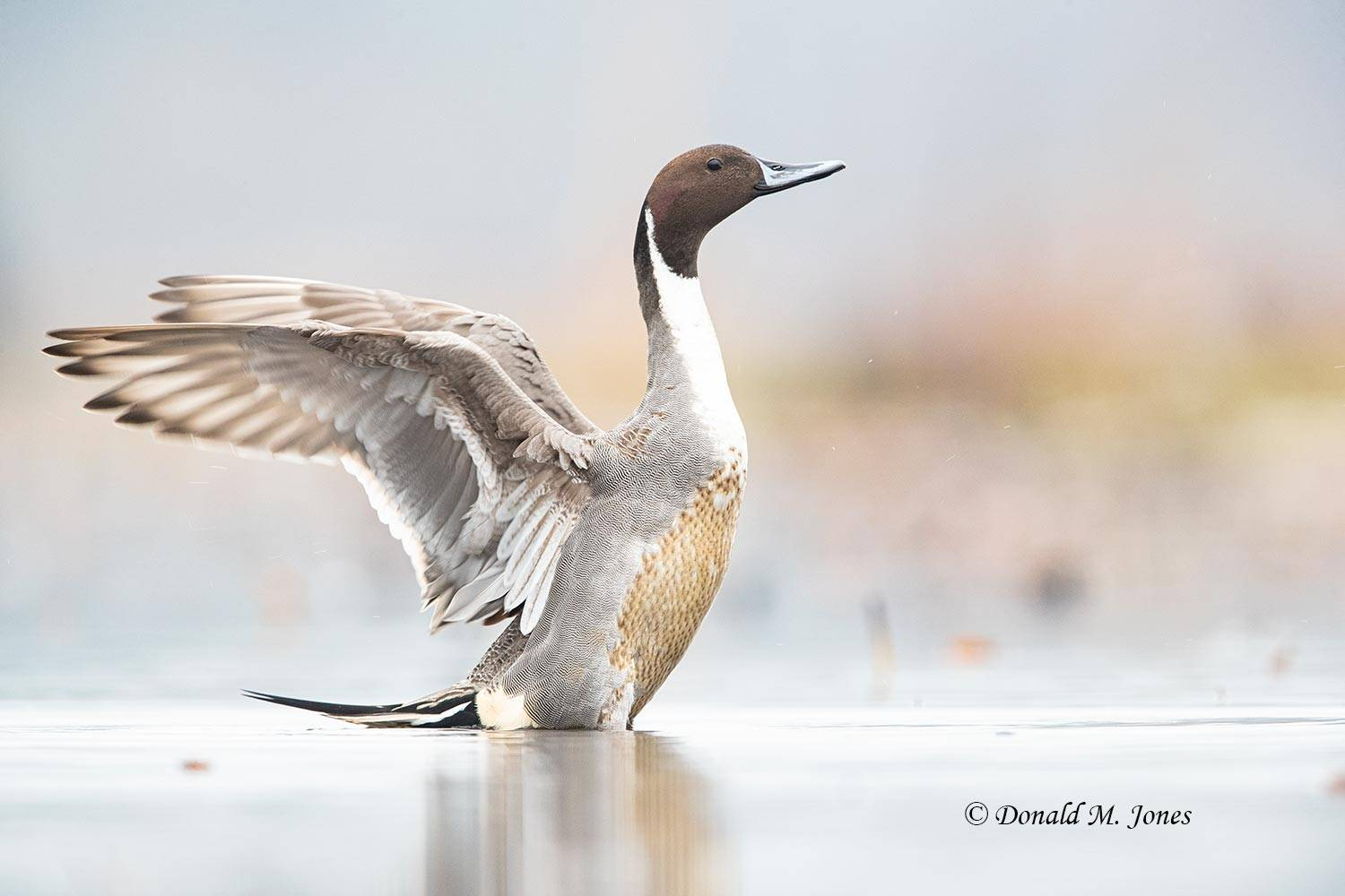 Northern-Pintail2502D