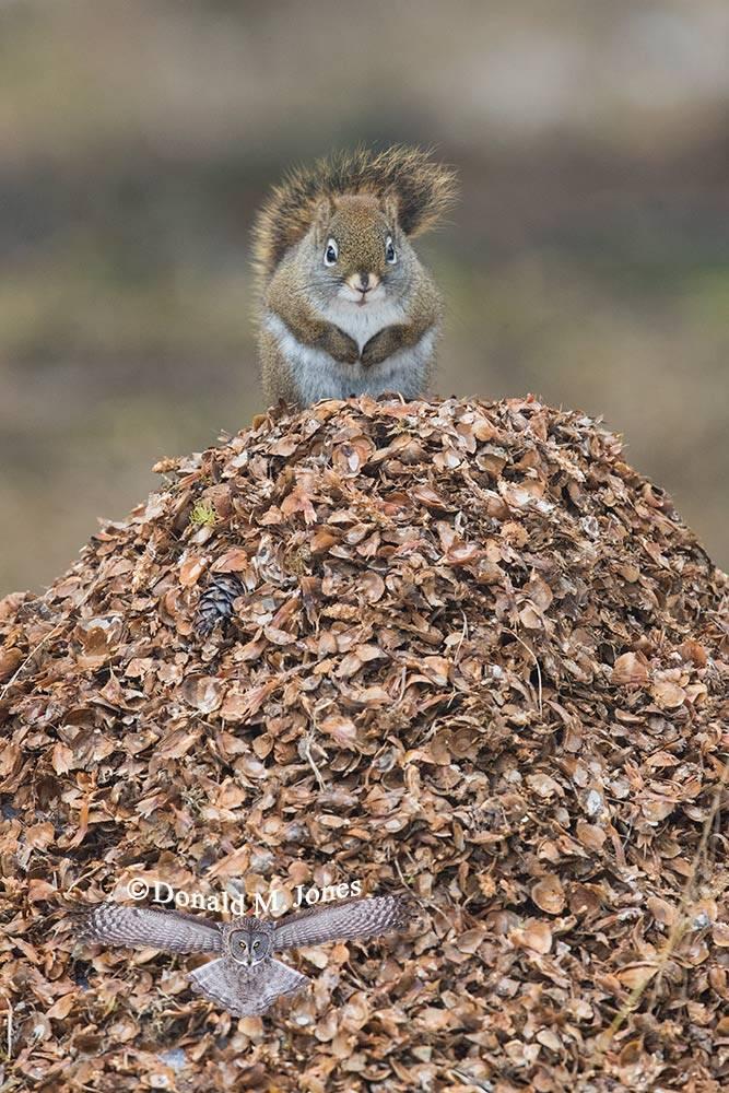 Pine-Squirrel0159D