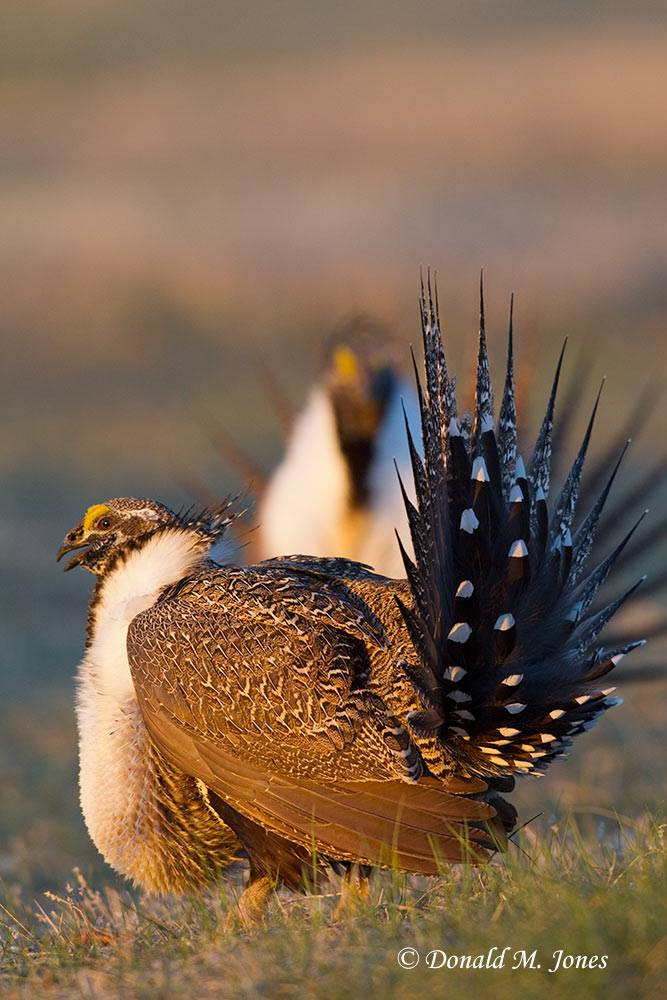 Greater-Sage-Grouse0659D