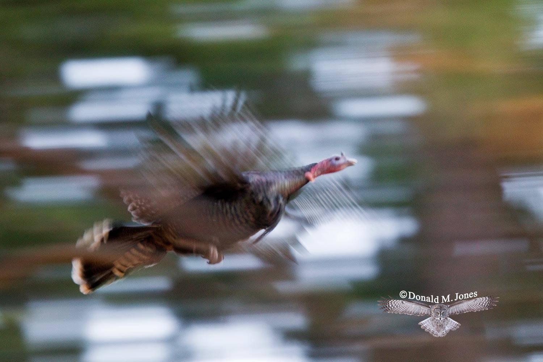 Wild-Turkey-(Merriams)09810D