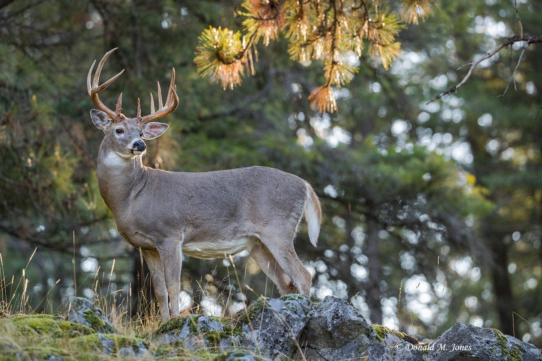 Whitetail-Deer54740D