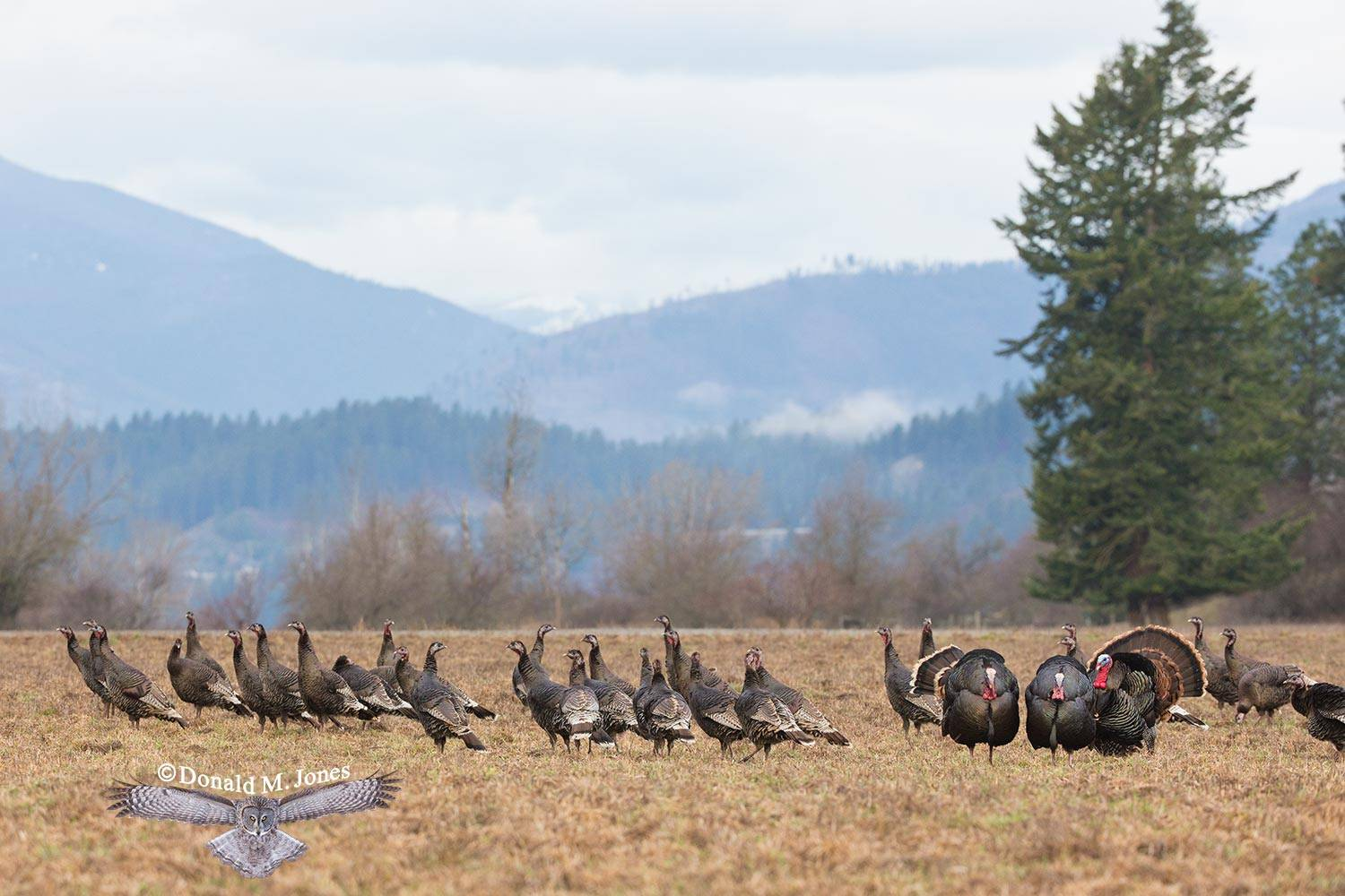 Wild-Turkey-(Merriams)11556D